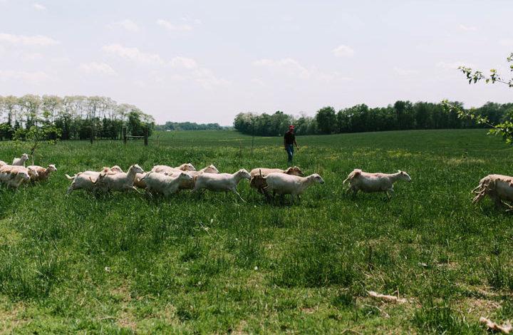 Head herdsman Derek herding lambs