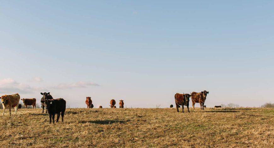 Biodynamic Cows