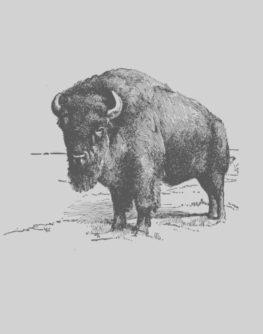 Bison-11